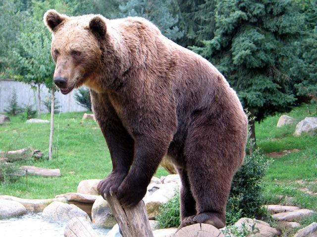 кафеава евро-азиска мечка