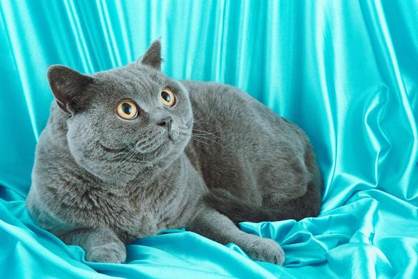 Во Русија мачките се многу ценети домашни љубимци, а некогаш се и симбол за престиж