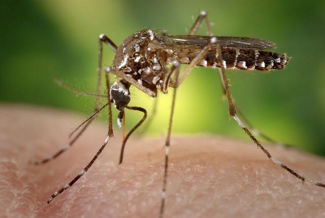 комарец, komarec