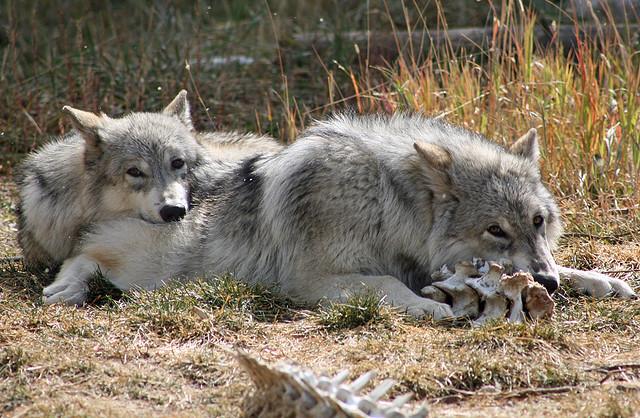 Волци