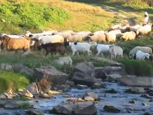 стадо-овци-говеда