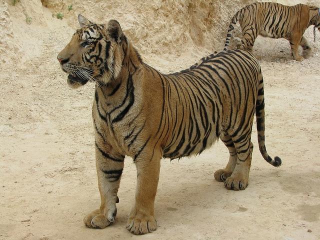 hram na tigrovite