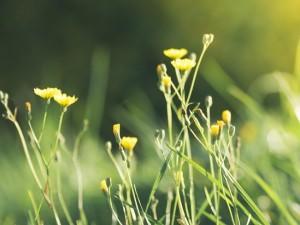 сонце-цвеќе-сончево