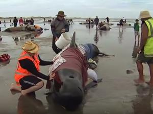kitovi nasukani nov zeland
